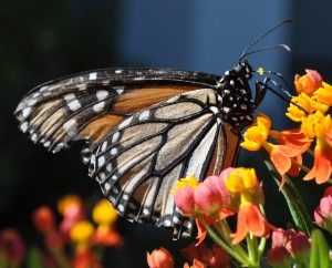 Step 1: A monarch feeds on milkweed and lays her eggs