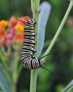 Step 2: A very hungry monarch caterpillar (larva)