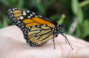 Monarch butterfly prepares for flight. Photo by ASWang